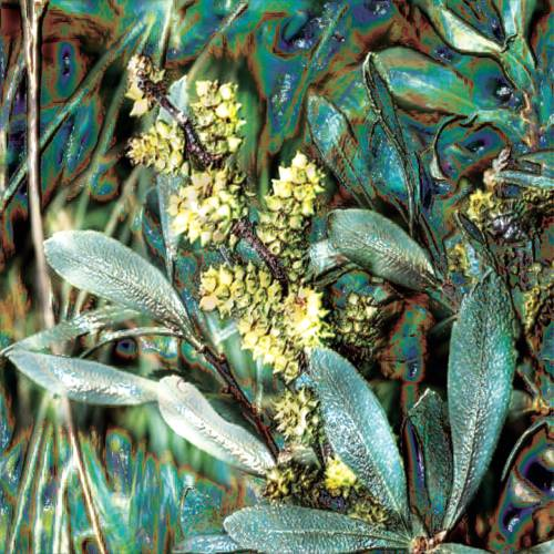 "Bog Myrtle Essential Oil: ""Circle Of Safety"""