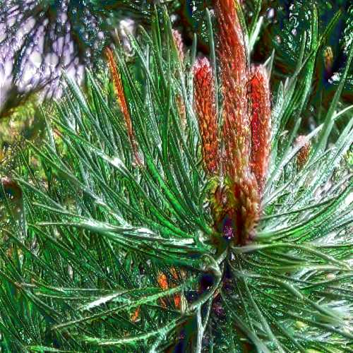 "Pine Essential Oil: ""Wisdom"""